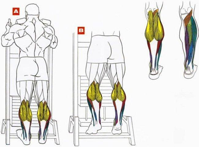 Подъем на носки стоя - какие мышцы работают