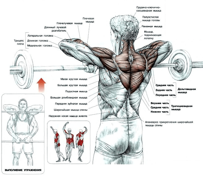 Какие мышцы работают при тяге штанги
