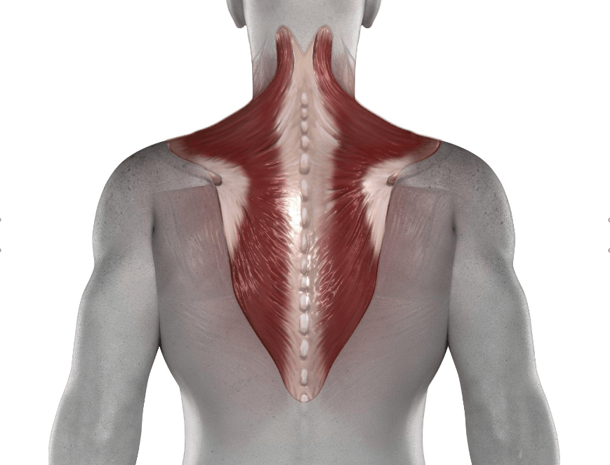 Роль трапеции в мышечной системе человека