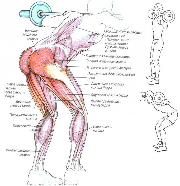 Какие мышцы работают при наклонах со штангой