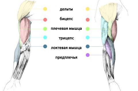 Анатомия мышц рук