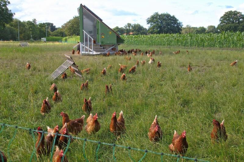 Куриное мясо - небезопасный продукт? Обезвреживаем курицу.